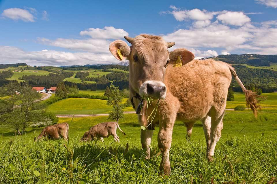 Auf der Allgäuer Käsestraße wird Heumilch-Käse von glücklichen Kühen serviert. Foto: Westallgäu Tourismus e. V. / Thomas Gretler