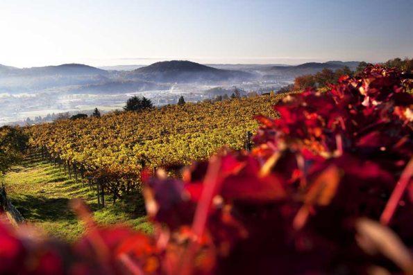 Aus den dunkelblauen Trauben im Tessiner Mendrisiotto entsteht neben dem bekannteren roten auch weißer Merlot. Bildnachweis: Mendrisiotto Turismo/Jaques Perler