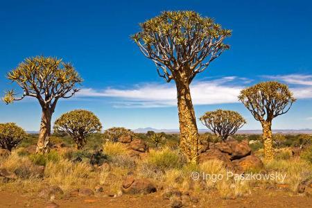 In Wirklichkeit ist der Köcherbaum kein Baum sondern ein Aloe. Die Pflanzen wedren bis zu 9 Meter hoch. Der Quivertree Forest ist natürlich gewachsen, kein Baum wurde geplanzt. Die ältesten Bäume sind bis zu 300 Jahre alt. Am 1. Juni 1955 wurde der Köcherwald zum nationalen Denkmal erklärt. Foto: Ingo Paszkowsky